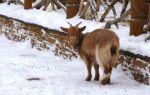 Чем кормить коз зимой: рацион и правила