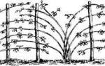 Посадка малины весной: способы, пошаговые инструкции, советы по уходу
