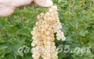 Белая смородина: описание, посадка, уход, размножение, сорта, отзывы