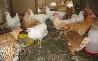 Порода кур тетра: описание и характеристики, фото, отзывы, требования к содержанию, размножение и выращивание
