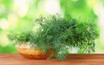 Подкормка укропа: сроки, способы, виды удобрений
