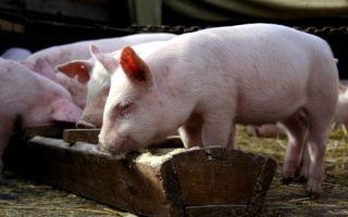 Мясной откорм свиней: корма, пищевые добавки, этапы откорма