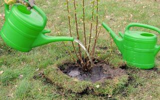 Подкормка смородины весной: внесение азотных, комплексных и органических удобрений