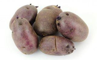Картофель черный принц: описание сорта, выращивание, уход и сбор урожая