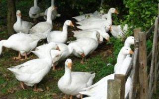 Тульские гуси: описание породы с фото, содержание и разведение, отзывы