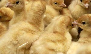 Инкубация индюшиных яиц: подготовка, закладка, этапы и режимы, вылупление