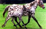 Лошадь аппалуза: описание породы с фото, распространение, уход, содержание и разведение