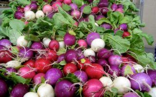 Редис «рондар»: характеристики сорта, его фото, посадка, выращивание, отзывы