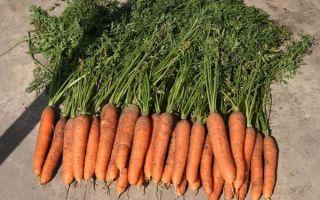 Морковь самсон: характеристики сорта, фото, уход, урожайность и отзывы