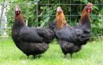 Мясо-яичные породы кур: список, характеристика пород, достоинства и недостатки
