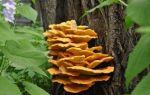 Грибы, растущие на деревьях и пнях: съедобные и несъедобные