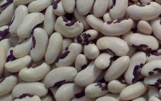 Сорта фасоли (вьющиеся и кустовые): описание с фото