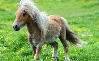 Миниатюрные лошади фалабелла: описание с фото, история, уход и разведение