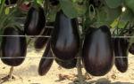 Когда и как собирать баклажаны: сроки, признаки спелости, техника сбора