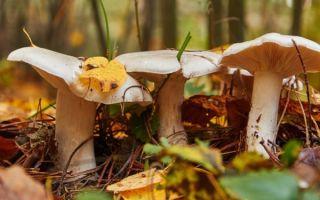 Грибы серушки: описание, фото, съедобность, где растет, польза и вред, применение
