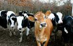 Джерсейская порода коров: характеристика, внешний вид, содержание, отзывы
