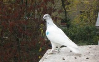 Голуби венгры высоколётные: характеристика породы, содержание и уход