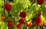 Комнатный острый перец: особенности, сорта с фото, выращивание, уход, отзывы