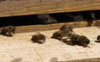 Кто такой трутень у пчел: особенности, значение в улье и важность трутня