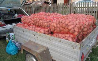 Картофель славянка: описание сорта, правила посадки и ухода, отзывы