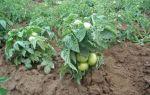 Томат клуша: описание сорта, посадка и выращивание, плюсы и минусы, отзывы