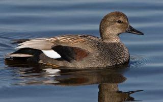 Утка гоголь: описание породы, фото, виды, содержание в домашних условиях