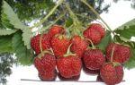 Лучшие сорта клубники для сибири: названия, описание с фото, агротехника