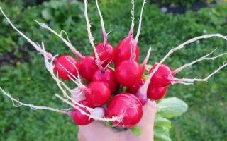 Редис сора: описание сорта, фото и правила агротехники