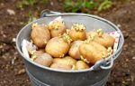 Фитофтора на картофеле: методы борьбы, причины, признаки, профилактика