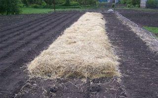Посадка картофеля под зиму: выбор места и клубней, подготовка почвы, способы посадки