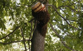 Ловля пчелиных роев: зачем нужна и как правильно организовать?