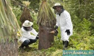 Бортевое пчеловодство: описание, плюсы и минусы, изготовления борти