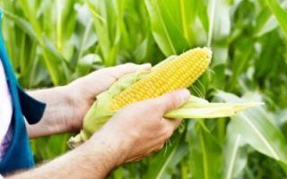 Кукуруза лакомка: описание сорта, фото, посадка и уход, сбор и хранение урожая