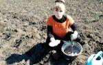 Выращивание арбузов в открытом грунте: пошаговые инструкции