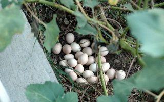Когда цесарки начинают нести яйца: сроки, половозрелость, факторы, влияющие на яйценоскость