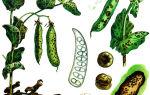 Болезни и вредители гороха: признаки, меры борьбы и профилактики