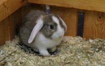Болезни ушей у кроликов: причины, симптомы, лечение и профилактика