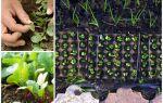 Выращивание редиса в открытом грунте: сроки посадки, правила посева и ухода
