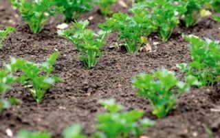 Петрушка итальянский гигант: описание сорта, выращивание, фото, отзывы