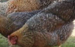 Куры барневельдер: описание породы, фото, кормление, разведение, отзывы