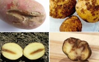 Картофель романо: описание сорта, фото, характеристики, посадка, уход и сбор урожая