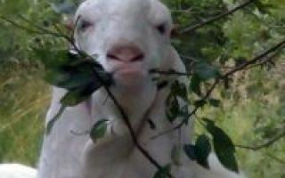 Козы гулаби: описание породы, фото, достоинства и недостатки, разведение, отзывы
