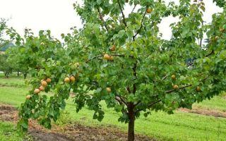 Как вырастить абрикос из косточки: правила посадки и ухода