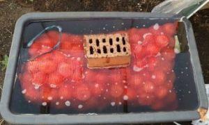 Обработка лука перед посадкой солью и марганцовкой