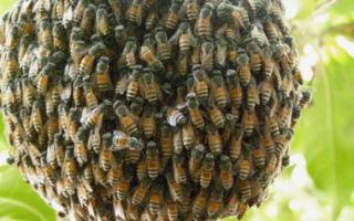 Дикие пчелы: описание, где живут и как избавиться, достоинства и недостатки