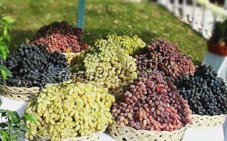 Виноград дамские пальчики: описание сорта, фото, выращивание и отзывы о винограде хусайне белый