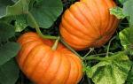 Стофунтовая тыква: описание сорта, фото, выращивание, отзывы