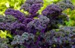 Капуста кале: характеристики сорта, фото, разновидности, выращивание, отзывы