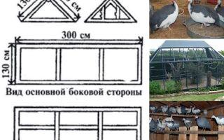 Породы цесарок с фото и описанием. обзор видов птицы