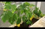 Выращивание огурцов на балконе: правила, сорта, условия, посадка, уход и сбор урожая